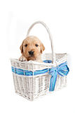 Puppy in wicker basket Stock Image