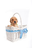 Puppy in wicker basket Royalty Free Stock Image