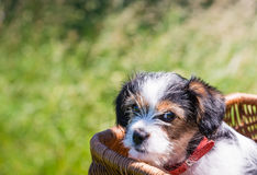 Puppy in a wicker basket Stock Images