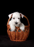 Puppy in wicker basket Stock Photography