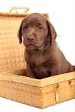 Puppy in a wicker box Stock Photo