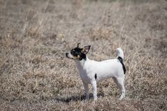 Puppy on windy day. Side view of 6-month-old Rat Terrier puppy outside on a windy Kansas day stock photo