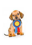 Puppy Winner. Adorable puppy of dachshund with winner ribbon Royalty Free Stock Images