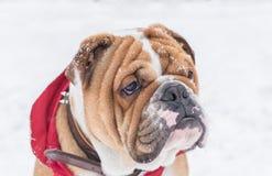 Puppy winter portrait Stock Image