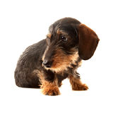 Puppy Wire Haired Dachshund. Portrait of a 5 month old puppy wire haired Dachshund boy named bertie Stock Photo