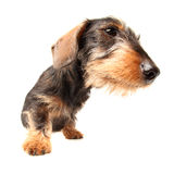 Puppy Wire Haired Dachshund. Portrait of a 5 month old puppy wire haired Dachshund boy named bertie Stock Image