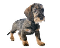 Puppy Wire haired dachshund Stock Photos