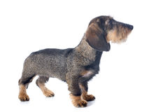Puppy Wire haired dachshund Stock Photography