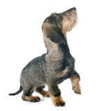 Puppy Wire haired dachshund Stock Image