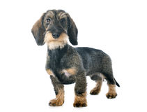Puppy Wire haired dachshund Stock Images