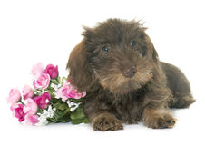 Puppy Wire haired dachshund Royalty Free Stock Photo