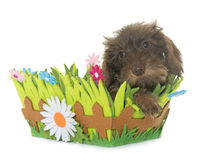 Puppy Wire haired dachshund Royalty Free Stock Photography