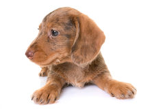 Puppy Wire-haired Dachshund Royalty Free Stock Photo