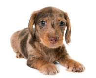 Puppy Wire-haired Dachshund Stock Image