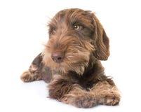 Puppy Wire-haired Tekkel stock fotografie