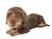 Puppy Wire-haired Tekkel stock afbeeldingen
