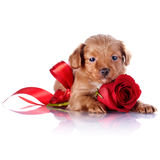 Puppy With A Red Bow And A Rose. Stock Image