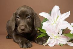 Puppy With Flower Royalty Free Stock Photography