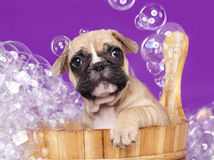Puppy in wooden wash basin Stock Photo