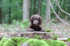 Puppy in the woods. Flat Coated Retriever in the woods royalty free stock photos
