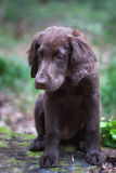 Puppy in the woods. Flat Coated Retriever in the woods royalty free stock images