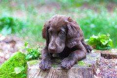 Puppy in the woods. Flat Coated Retriever in the woods stock image