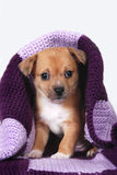 Puppy wrapped in purple blanket Royalty Free Stock Image