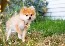 Puppy in the Yard. A tiny Pomeranian puppy walking on a grassy lawn.  Shallow depth of field with focus on puppy's eyes Royalty Free Stock Images