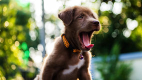 puppy yawning with bokeh background stock image