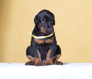 Puppy with yellow belt Royalty Free Stock Photos