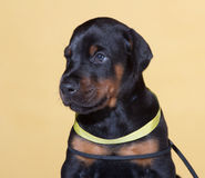 Puppy with yellow belt Stock Images