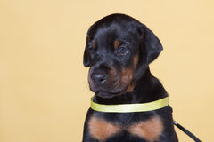 Puppy with yellow belt Royalty Free Stock Images