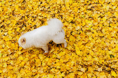 Puppy on yellow ginkgo leaves Royalty Free Stock Photos