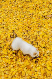 Puppy on yellow ginkgo leaves Royalty Free Stock Photography