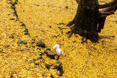 Puppy on yellow ginkgo leaves Stock Image