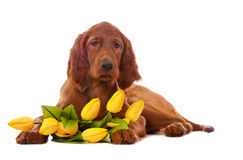 Puppy  with yellow tulips Royalty Free Stock Photo