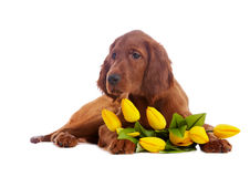 Puppy  with yellow tulips Royalty Free Stock Images