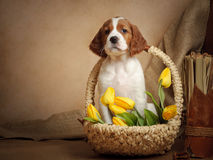 Puppy and yellow tulips Stock Image