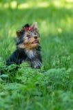 Puppy Yorkshire die Terrier in het Park lopen Royalty-vrije Stock Fotografie