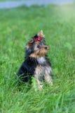 Puppy Yorkshire die Terrier in het Park lopen Stock Foto's
