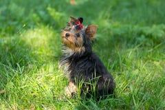 Puppy Yorkshire die Terrier in het Park lopen Royalty-vrije Stock Foto