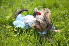 Puppy Yorkshire een terriër Royalty-vrije Stock Afbeelding