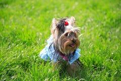 Puppy Yorkshire een terriër Stock Foto's