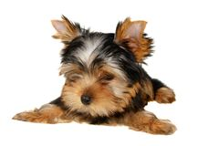 Puppy of the Yorkshire Terrier. Isolated on the white background. Female Royalty Free Stock Image