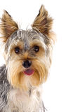 Puppy yorkshire terrier Stock Photography