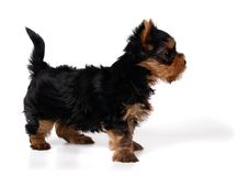 Puppy of the Yorkshire Terrier. Isolated on white Royalty Free Stock Photo