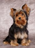 Puppy of the Yorkshire Terrier Royalty Free Stock Photo
