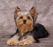 Puppy of the Yorkshire Terrier. On the textile background Stock Photo