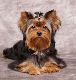Puppy of the Yorkshire Terrier. On the textile background Royalty Free Stock Images