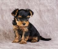 Puppy of the Yorkshire Terrier Royalty Free Stock Image